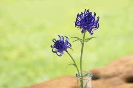 Teufelskralle - blaue Wiesenblume