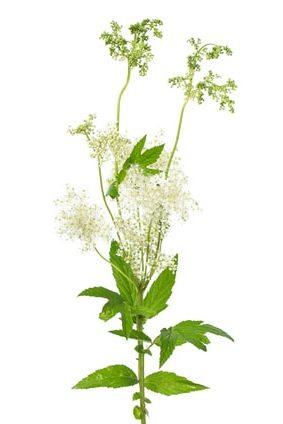 Spierstaude (Filipendula ulmaria) Blüte und Blätter auf weiße