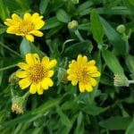 Arnica chamissonis; Meadow arnica