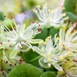 Lindenblüten platyphyllos Tilia